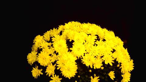 chrysanthemum1 Footage