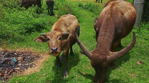 Bulls Flock Grazes on Green Tropical Meadow on Daytime Footage
