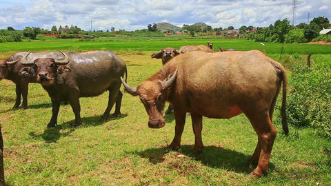 Bulls Flock Grazes on Green Grass Tropical Meadow Footage