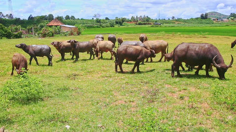 Bulls Flock Grazes on Green Grass against Village Footage