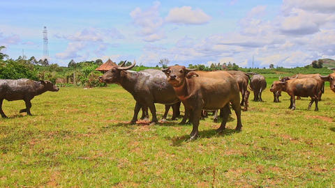 Bulls Flock Look and Go away on Green Grass against Village Footage