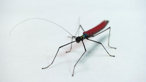 4 Studio Shot Of Exotic Stick Insect Or Walking Stick Live Action