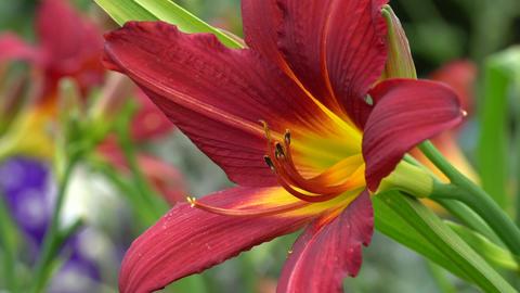 Flora - Hemerocallis 1