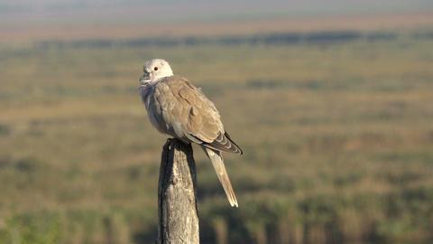 Collared dove in the Danube Delta, Romania Footage