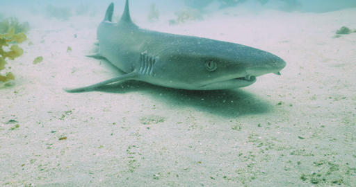 Whitetip reef shark resting on sand in nutrient rich waters, Western Australia Live Action
