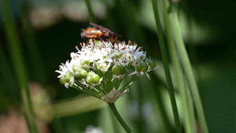 Insects Collects Nectar Flowers Levisticum Footage