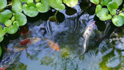 Multicolored Ornamental Fishes Swim Pond Footage