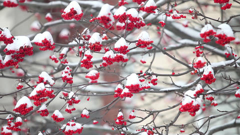 Bunches of red mountain ash under the white snow Footage