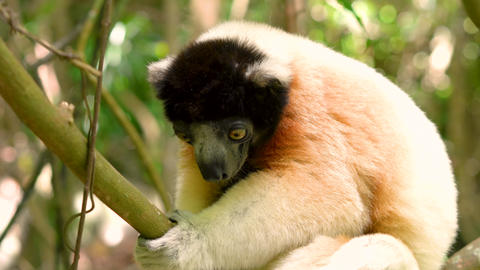 Crowned sifaka lemur, forest jungle area of Madagascar Live Action