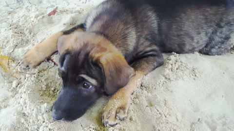Closeup Big Sheep-dog Rests on White Beach Sand Footage