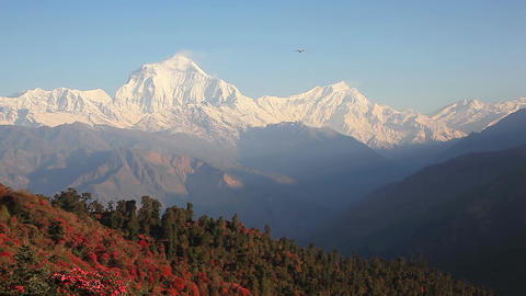 Dhaulagiri Peak Rhododendrons Himalaya HD Footage