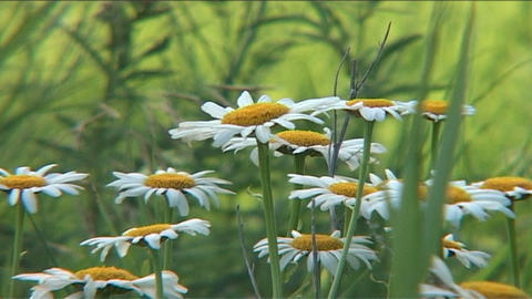 Field with daisies Footage