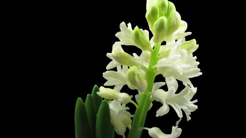 Time-lapse of growing white hyacinth flower in RGB + ALPHA matte format 이미지