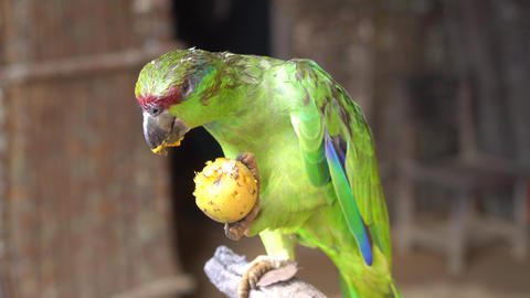 Close Up of Colorful Red-Lored Amazon Parrot. Exotic Friendly Bird Eating Fruit Live Action