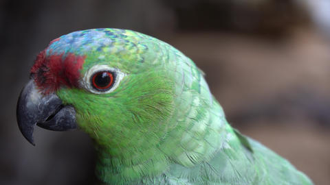Red-Lored Amazon Parrot Close Up. Exotic Bird Natural Habitat in Amazonia Brazil Live Action