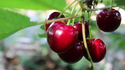 Cherries On A Tree Filmmaterial