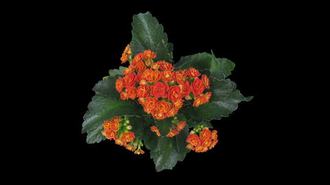 Time-lapse of opening orange kalanchoe flower in RGB + ALPHA matte format, top Animation