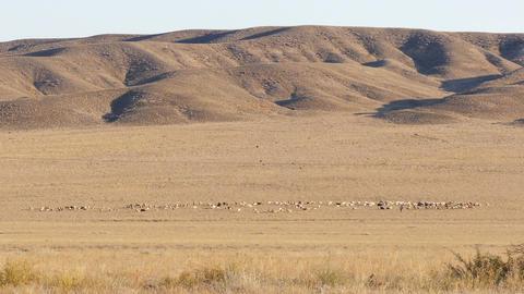 Pasture Sheep Shepherd 4K Footage