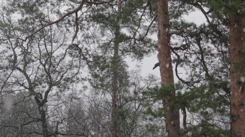 Snow in the Pine Forest Tilt Up Footage