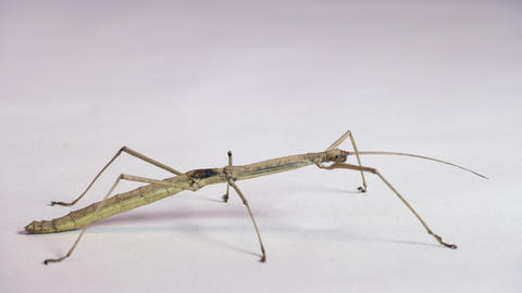 14 Studio Shot Of Thai Stick Insect Or Walking Stick Live Action