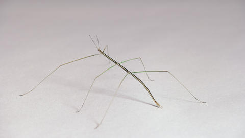 10 Exotic Phasmid Or Stick Insect Or Stick Bug Live Action
