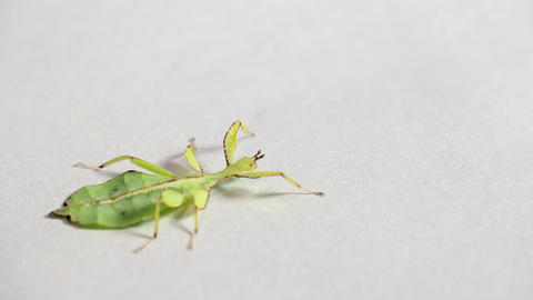11 Exotic Leaf Insect Or Phasmid Walking On White Background Live Action