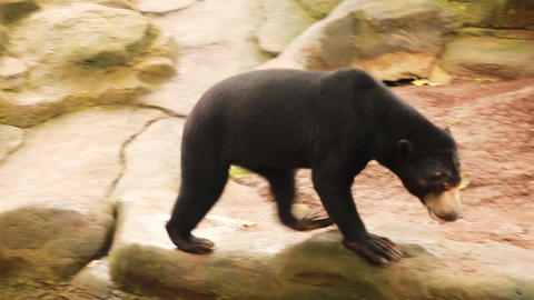 Malayan Bear or SunBear In Nature, Rare Endangered Species, 4K. Sun bear is Live Action