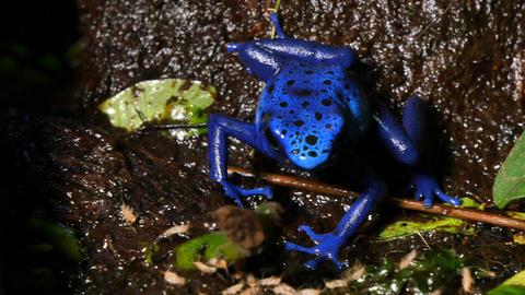 Azureus Dendrobates Tinctotius Blue Poison Dart Frog Footage