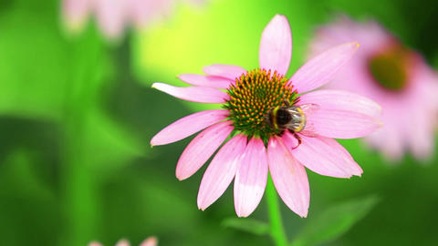 Bumblebee Sits On A Flower Stock Video Footage
