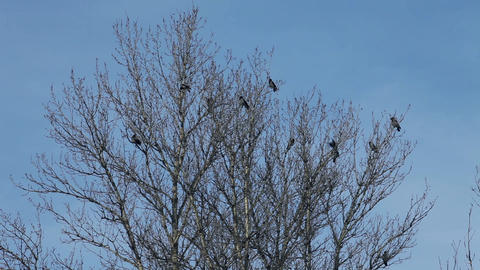 crows on tree Stock Video Footage