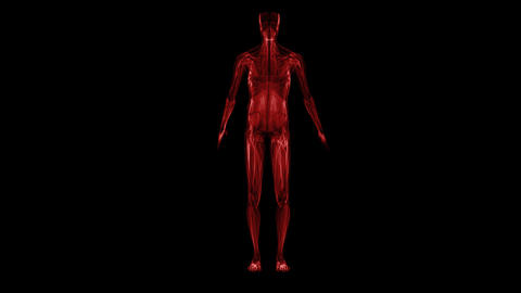 Anatomy Of The Human Body: Muscules stock footage
