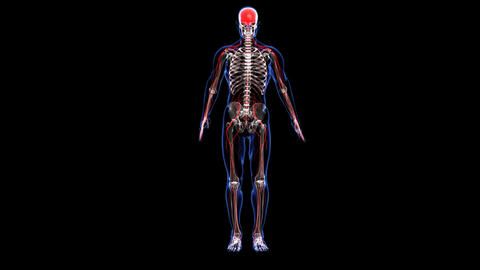 Anatomy: Skin, Skeleton And Nervous stock footage