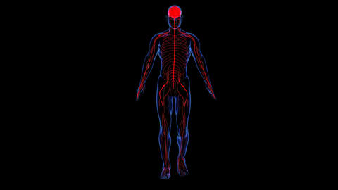 Anatomy: skin and nervous Stock Video Footage