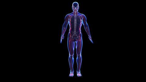 Anatomy of the human body: skin skeleton and muscules Animation