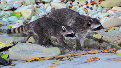 Raccoons on the beach 01 Stock Video Footage