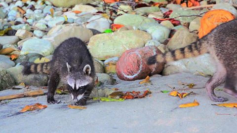 Raccoons on the beach 01 Footage