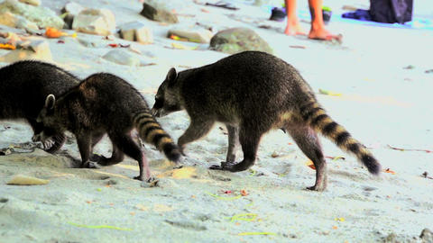 Raccoons on the beach 03 Footage