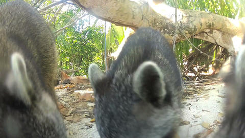 Racoons looking forfood Stock Video Footage