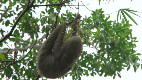 Sloth in a tree 01 Stock Video Footage