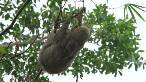 Sloth in a tree 01 Footage