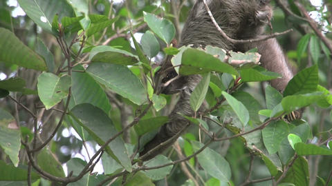 Sloth mother baby 01 Stock Video Footage