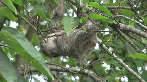 Sloth mother baby climing 01 Stock Video Footage