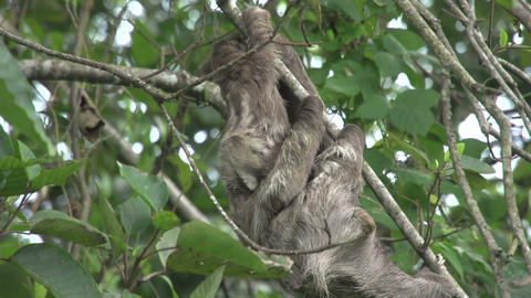 Sloth mother baby climing 03 Stock Video Footage