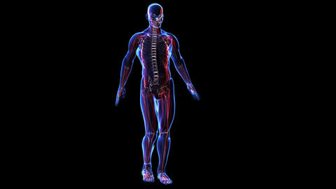 Anatomy of the human body: skin skeleton and muscules Stock Video Footage