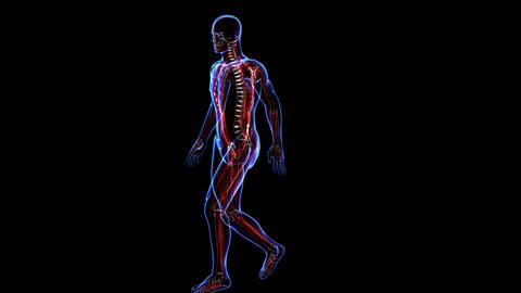 Anatomy Of The Human Body: Skin Skeleton And Muscules stock footage