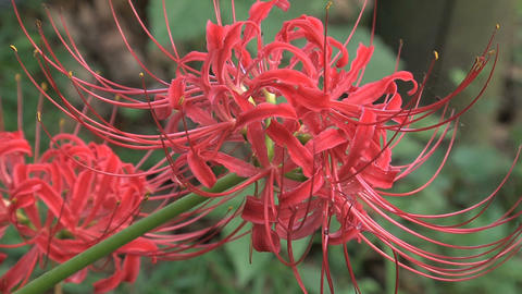 Red Spider Lily Footage