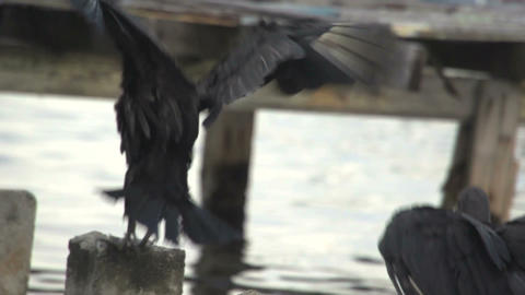 vulture jumping Stock Video Footage