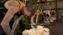 Sheep Shearing 2