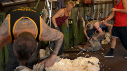 Shearers Shearing Merino Sheep and Collecting Wool Stock Video Footage