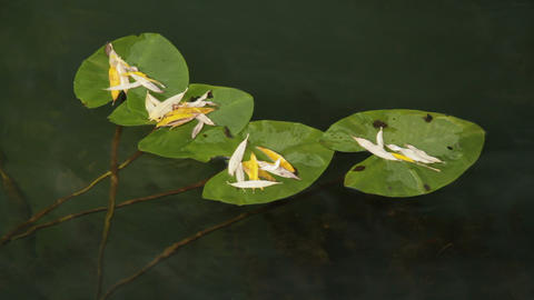 leaves of water lilies Stock Video Footage